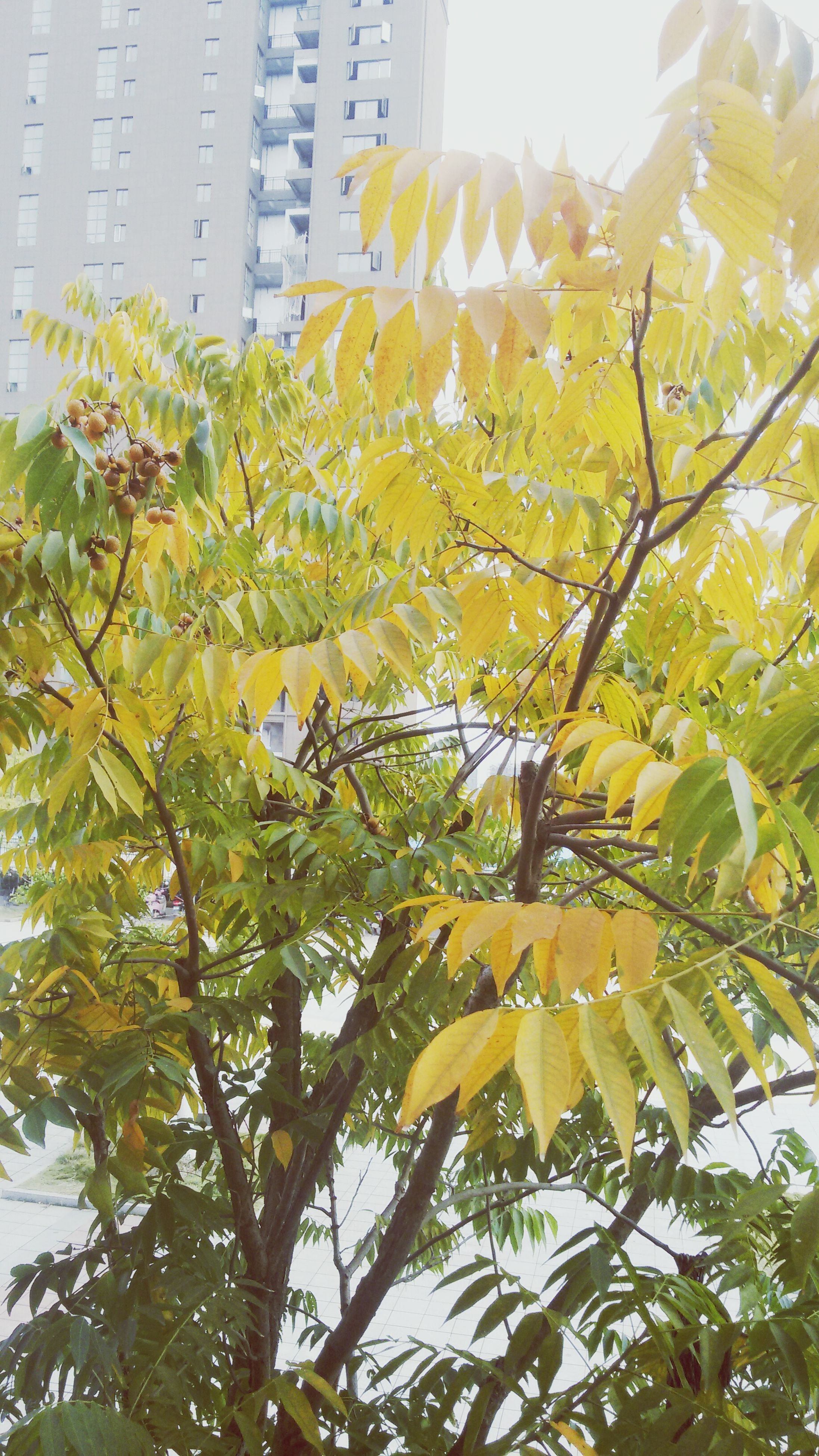 low angle view, tree, leaf, growth, yellow, branch, nature, building exterior, built structure, architecture, day, clear sky, freshness, sunlight, outdoors, green color, beauty in nature, no people, autumn, season