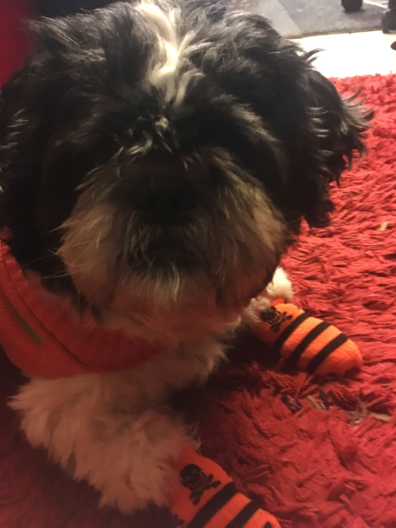 Pets Domestic Animals Dog Mammal Animal Themes One Animal Indoors  Close-up Pet Clothing No People Day Halloween Focus Object Shih Tzu Photography Baby Dogs Puppy Fall