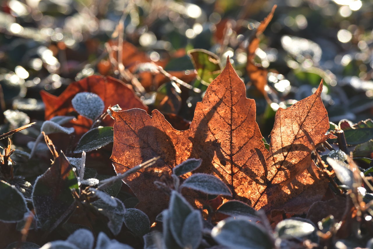 Autum Light Autumn Beauty In Nature Change Close-up Day Fragility Leaf Leaves Nature No People Outdoors Tree White Frost