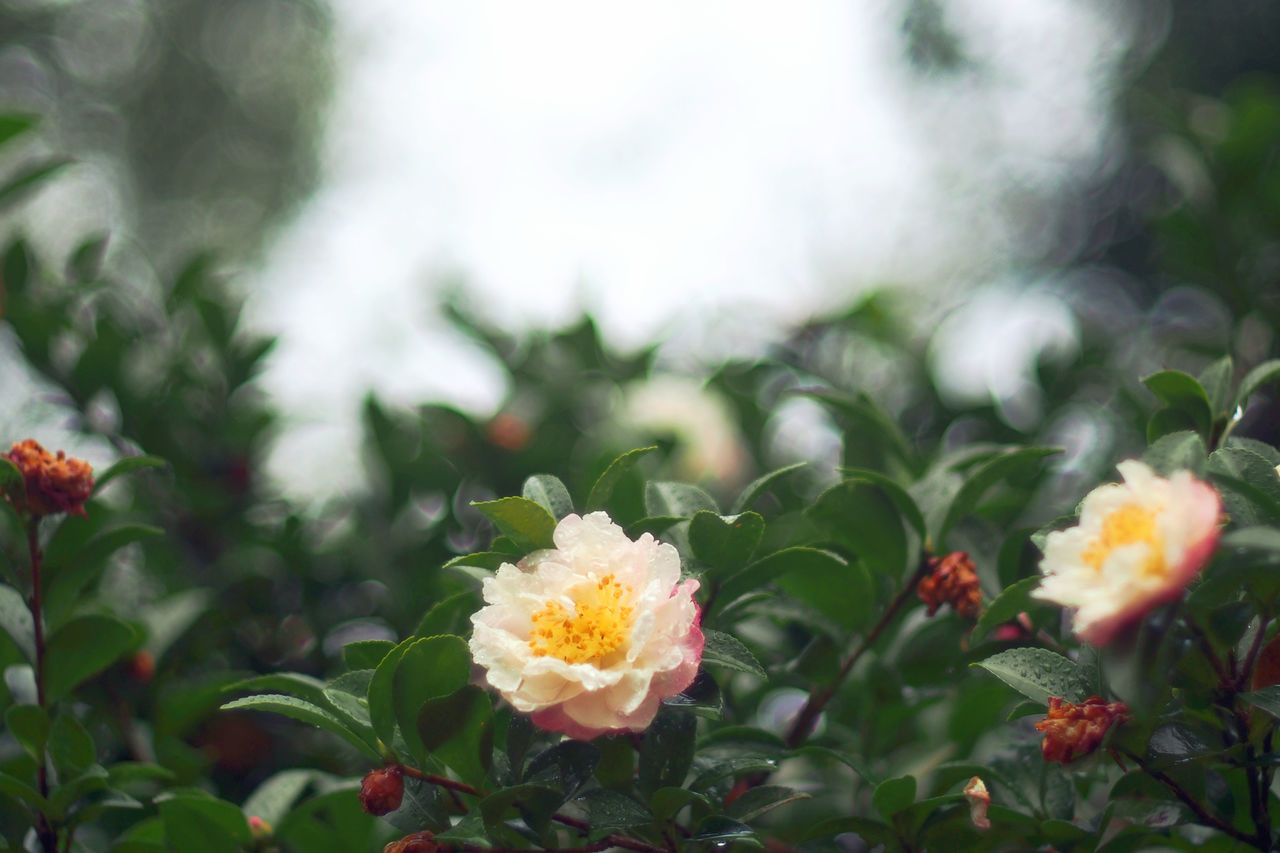 Camellia Flower Nature Fragility Plant Beauty In Nature Growth Close-up Bokeh Photography