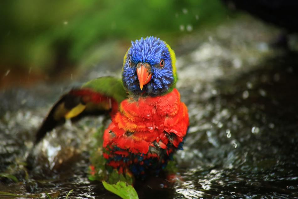 Animal Bath Bird Bird Bath Bird Taking Bath Colorful Colorful Bird Colorful Parrot Nature Parrot Parrot Bathing Zoology EyeEmNewHere Welcome Weekly