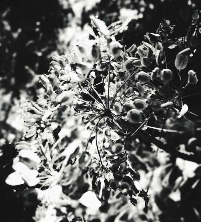 Heracleum Hogweed Seed Pod Naturelovers Wildflowers Blackandwhite Photography