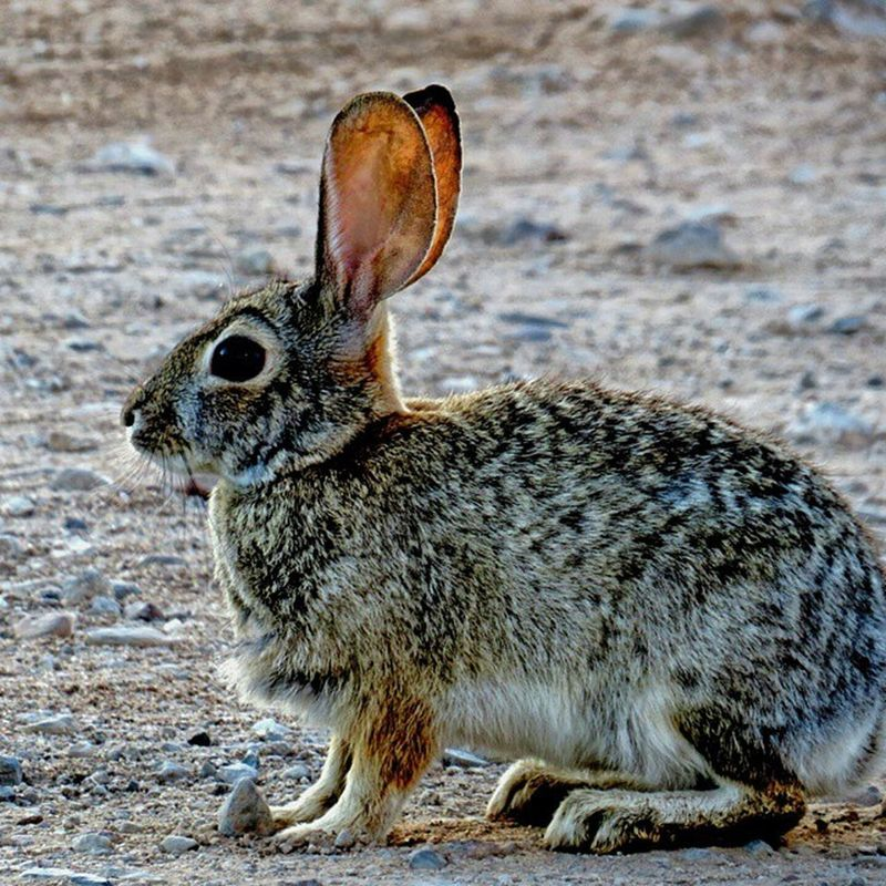 Took this shot in my backyard...we have many different rabbits running through the yard in the morning hours, here in Tucson, AZ. Jackrabbit Tucson Arizona Bunny  Desert Nature Bunny  Cottontail Explorebc Naturerocksphotography Morning Beautiful Animal Fast Seetucson Natures_lens Earth_in_bloom Eye_for_earth Everything_animals