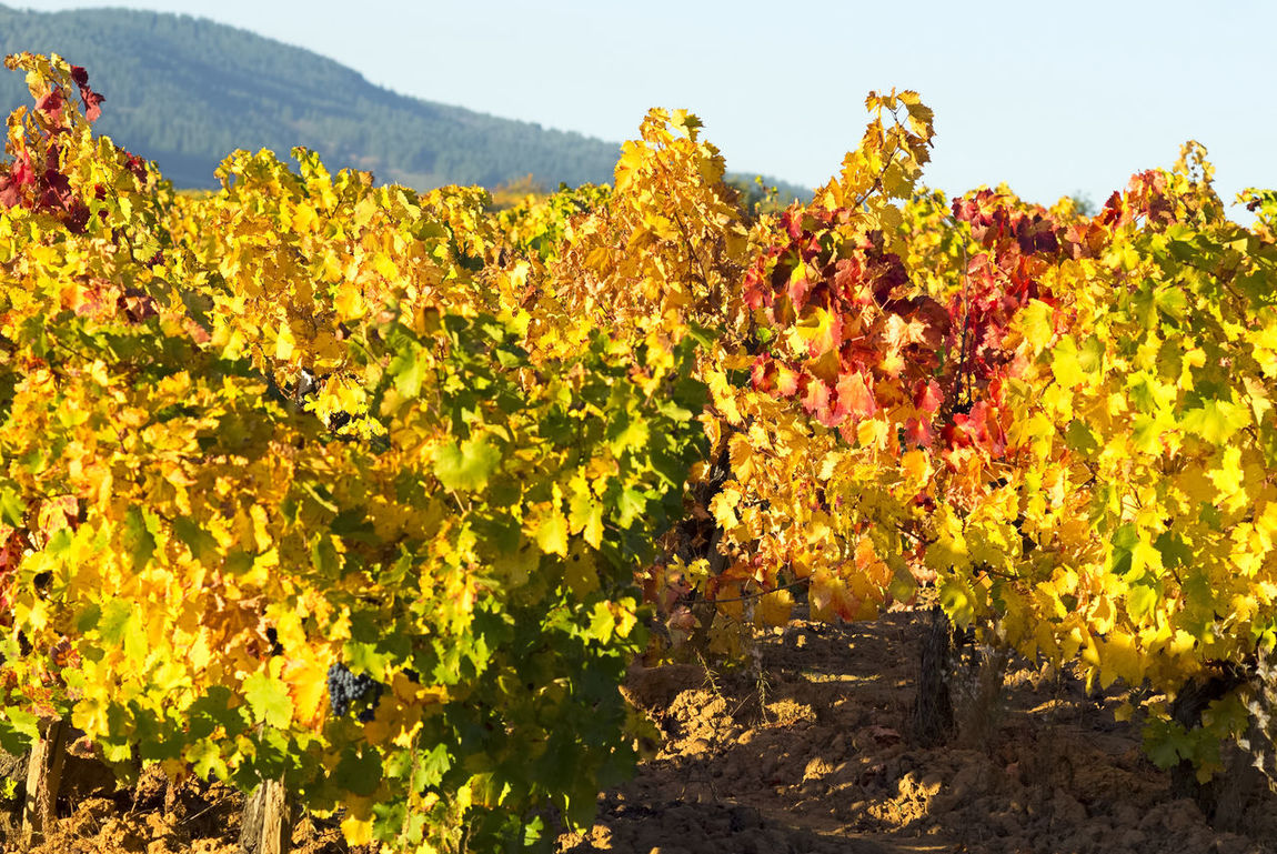 vineyards in autumn with the last bunches of grapes , El Bierzo , Spain Alcohol Autumn Autumn Colors Autumn Leafs Autumn Light Beverage Drink Fruit Gourmet Grape Vineyard Viticulture Wine Winemaking Winery