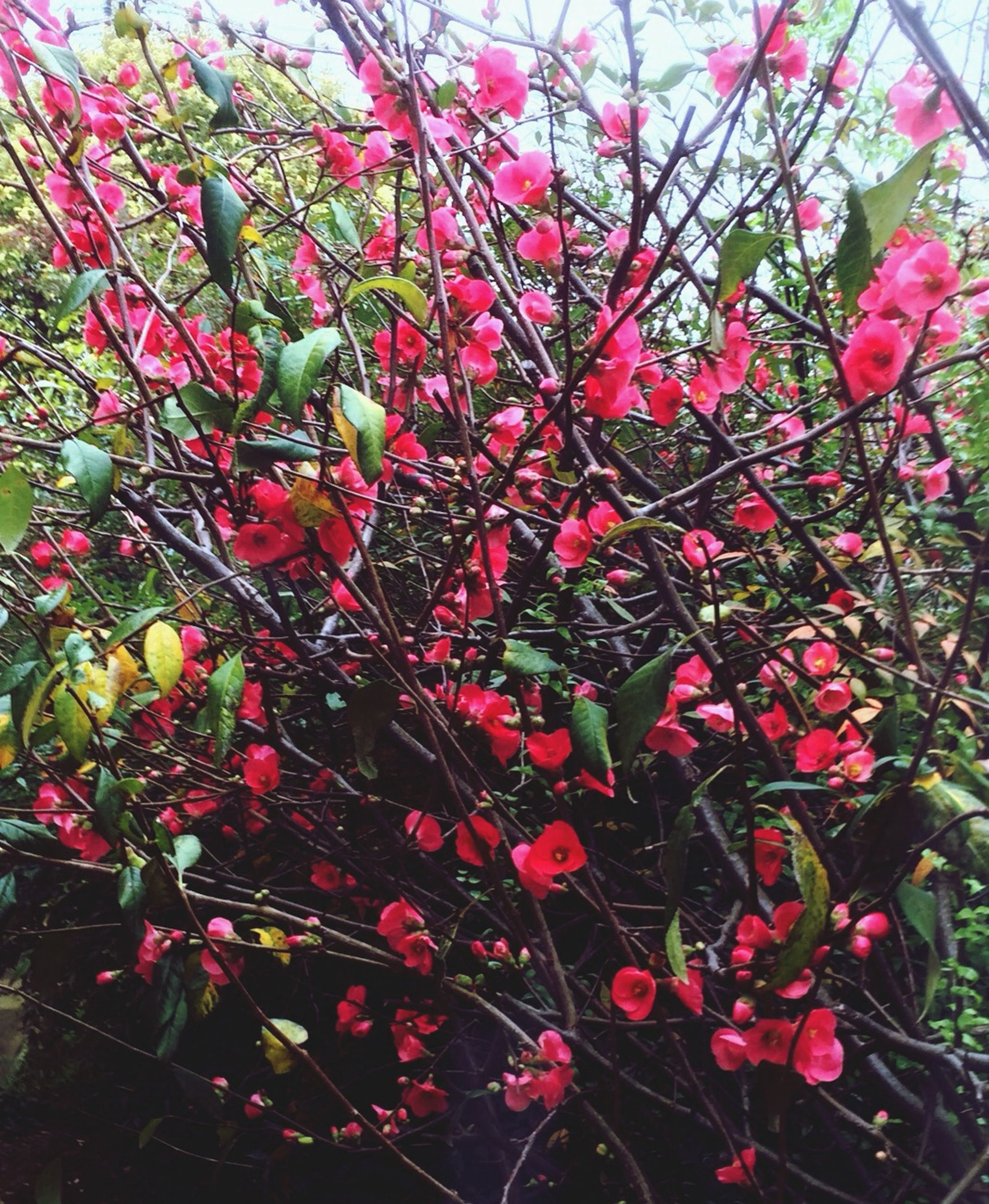 flower, freshness, growth, branch, tree, red, nature, low angle view, fragility, beauty in nature, plant, pink color, blossom, leaf, in bloom, petal, day, outdoors, blooming, no people