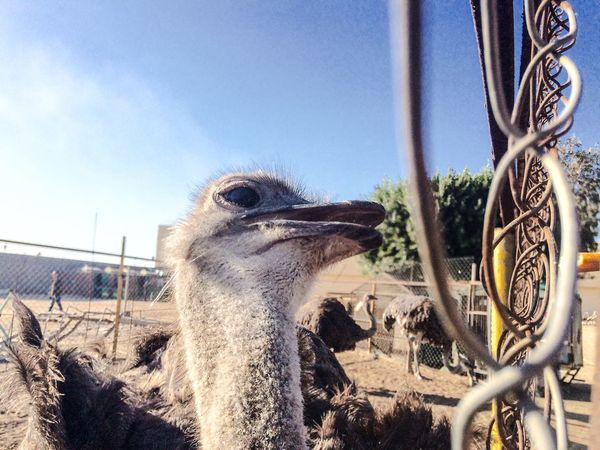 Ostrich Animal Head  Animal Themes One Animal Mammal Outdoors No People Close-up Nature Zoo IPhoneography Eye Reflection Animal Beauty In Nature Close Up Fence