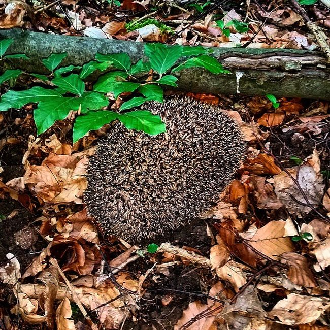 Igel Wald Naturfoto Natur SaarlandGermanybpa_naturenaturelovers_grnaturefolknatureloversnaturfreunde