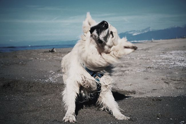 It's only rock'n'roll baby! Ghiro I Love My Dog Golden Retriever My Dog Is A Model  EyeEm Dogs My Dog Is Cooler Than Your Kid. Sun Beach