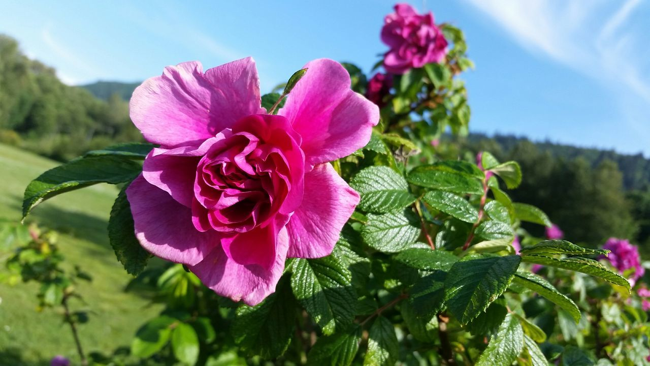Close-Up Of Pink Rose Growing On Plant