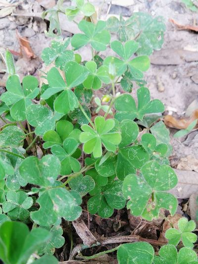 4 Leaf Clover Lucky Leaf Green Color Plant Growth High Angle View Day Nature No People Outdoors Close-up Animal Themes