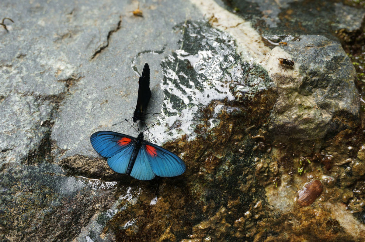 Animal Themes Animals In The Wild Beauty In Nature Blue Butterflies Butterfly Butterfly - Insect Chatting Conversation Day Deep Blue High Angle View Liquid Nature No People Outdoors Red Dots Rock Rock Background Talk Water Wet Wings EyeEmNewHere