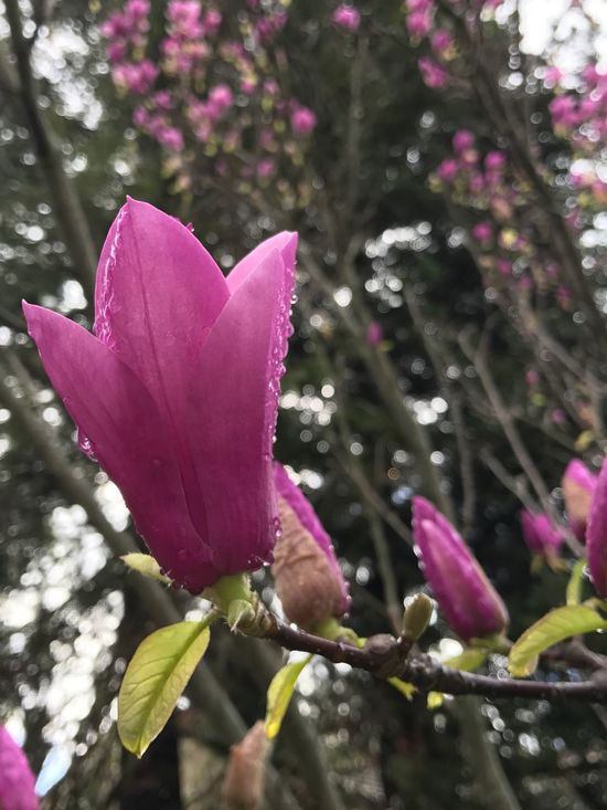 Magnolia Blossoms Flower Growth Nature Petal Beauty In Nature Fragility Freshness Close-up Plant Purple No People Pink Color Day Flower Head Outdoors Blooming No Filter, No Edit, Just Photography After The Rain Springtime Spring Flowers Saucer Magnolia Branch
