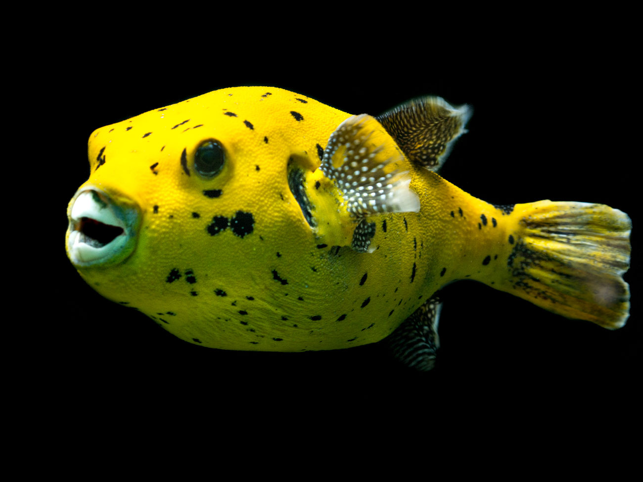 Boxfish Things That Are Yellow Aquarium Wilhelma - Stuttgart