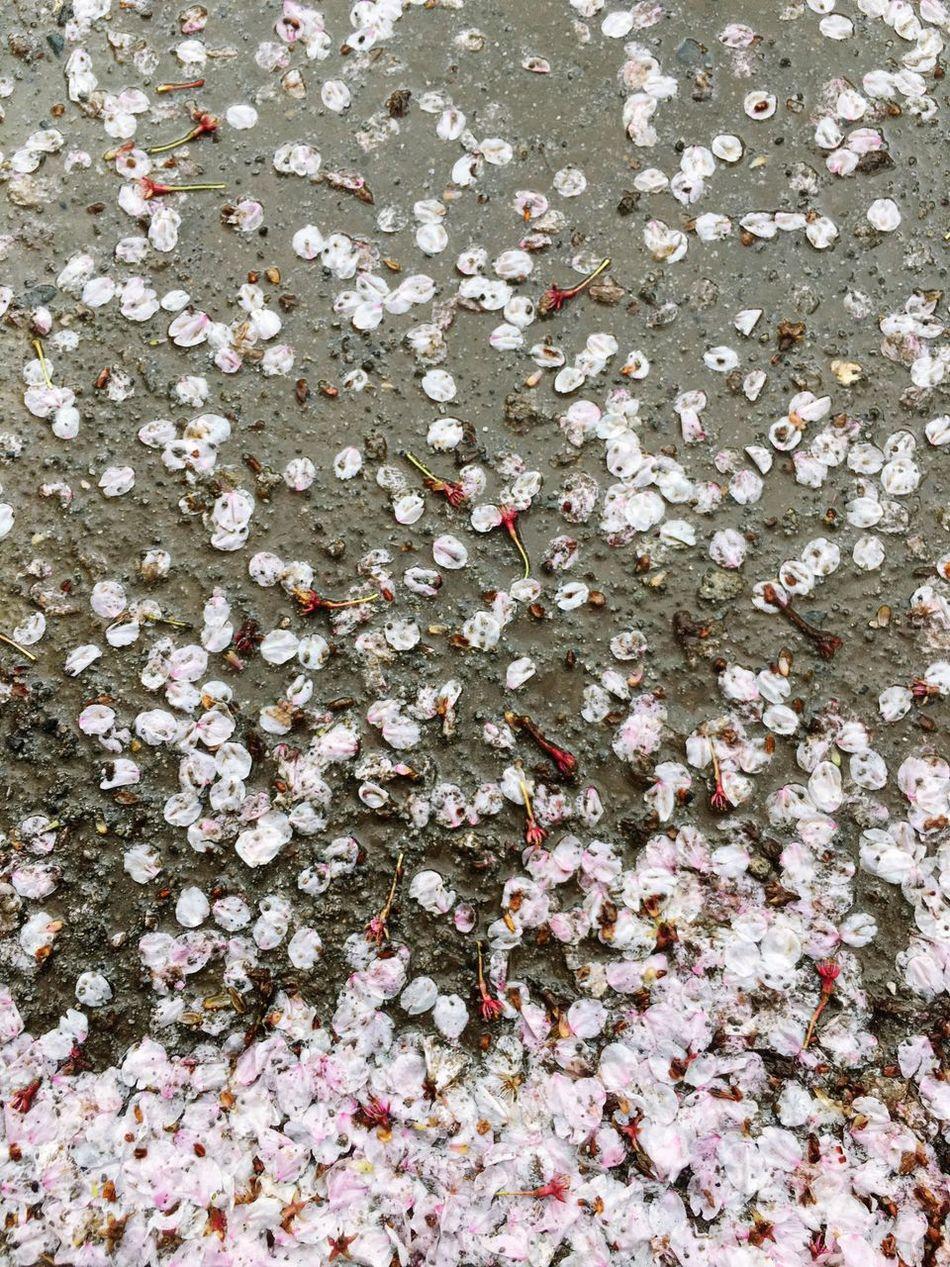 Cherry Petals Cherry Blossoms Cherry Blossom After The Rain