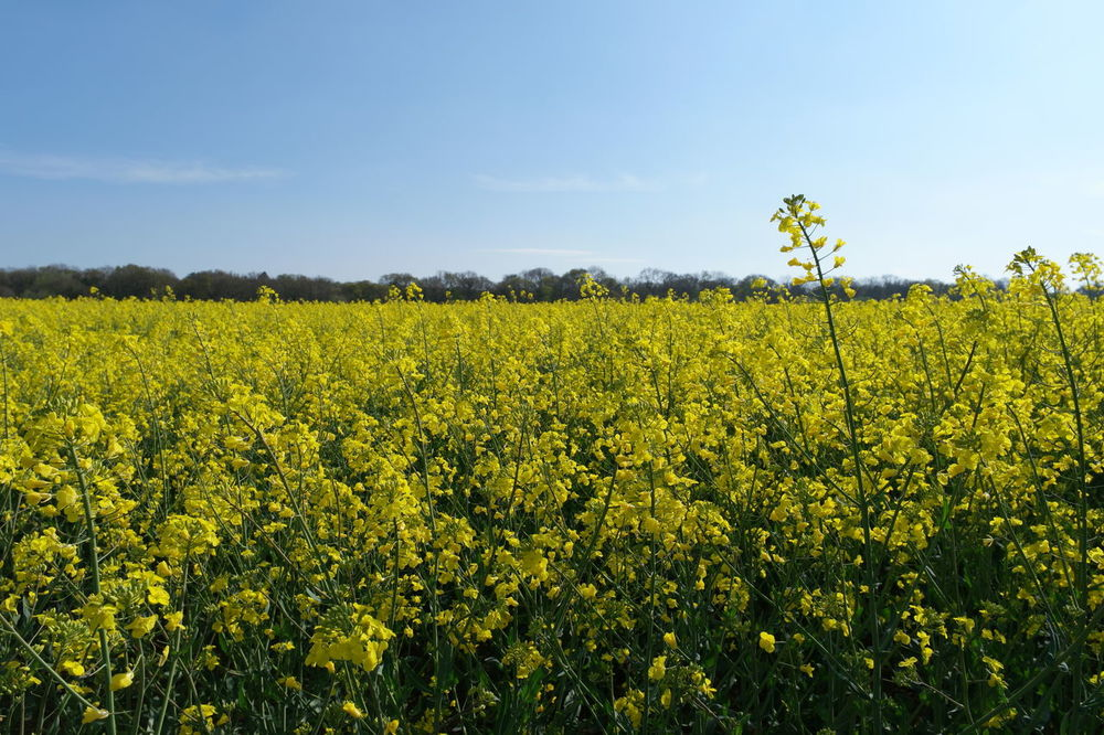 Rapeseed field Amazing Beauty In Nature Blue Sky Cloud Crawley EyeEm Best Shots Field FishEyeEm Great Views Nature RapeFlowers Rapeseed Rapeseed Blossom Rapeseed Field Samsung Nx500 Spring Spring Flowers Springtime Stunning Sussex Tranquil Scene Tranquility Wide Angle Yellow
