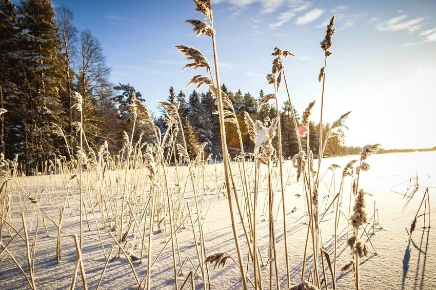Nature Tranquil Scene Growth Tranquility Cattail Outdoors No People Day Beauty In Nature Plant Winter Cold Temperature Scenics Snow Landscape Grass Tree Sky Close-up Macro Photography EyeEm Masterclass Dried Plant Beautiful Sunlight