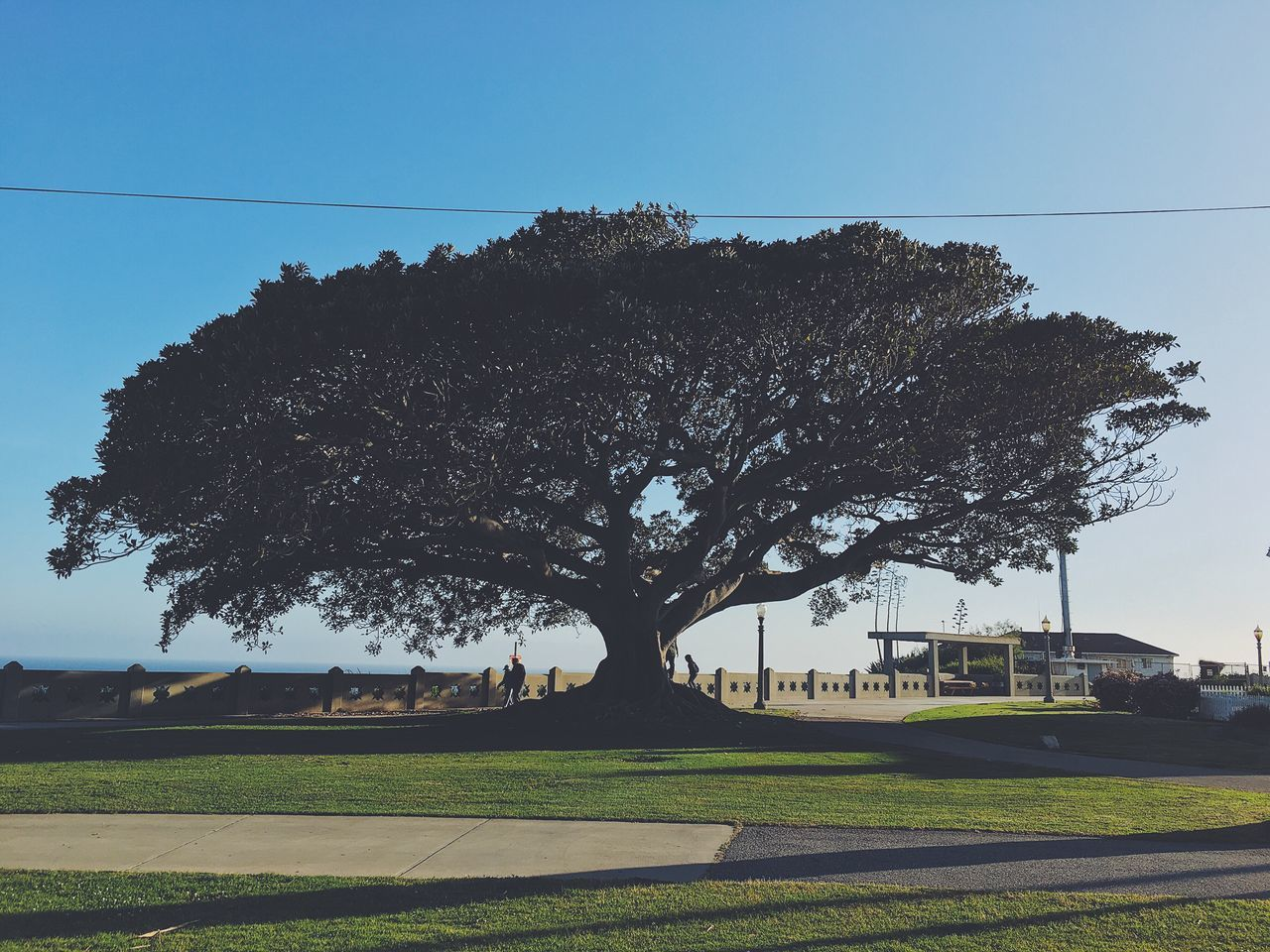 My favorite fig tree Tree Clear Sky Nature Growth Tranquility No People Landscape Outdoors Day Grass Sky First Eyeem Photo Park Outdoor Old Tree Big Tree Fig Tree Sunshine Walking Path Path Open California Earth Blue Green