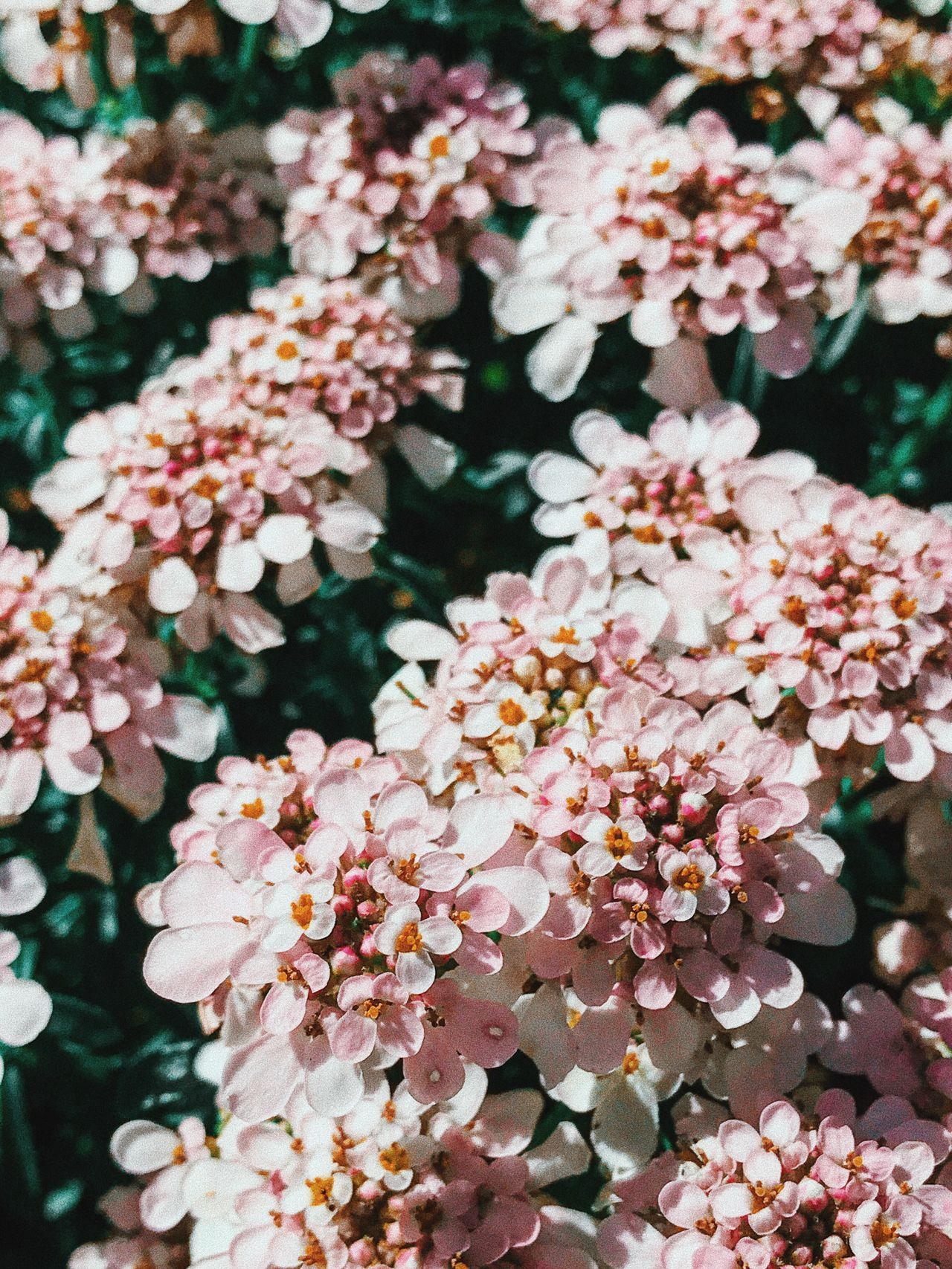 Flower Freshness Fragility Beauty In Nature Pink Color No People Nature Day Petal Focus On Foreground Close-up Growth Outdoors Plant Flower Head