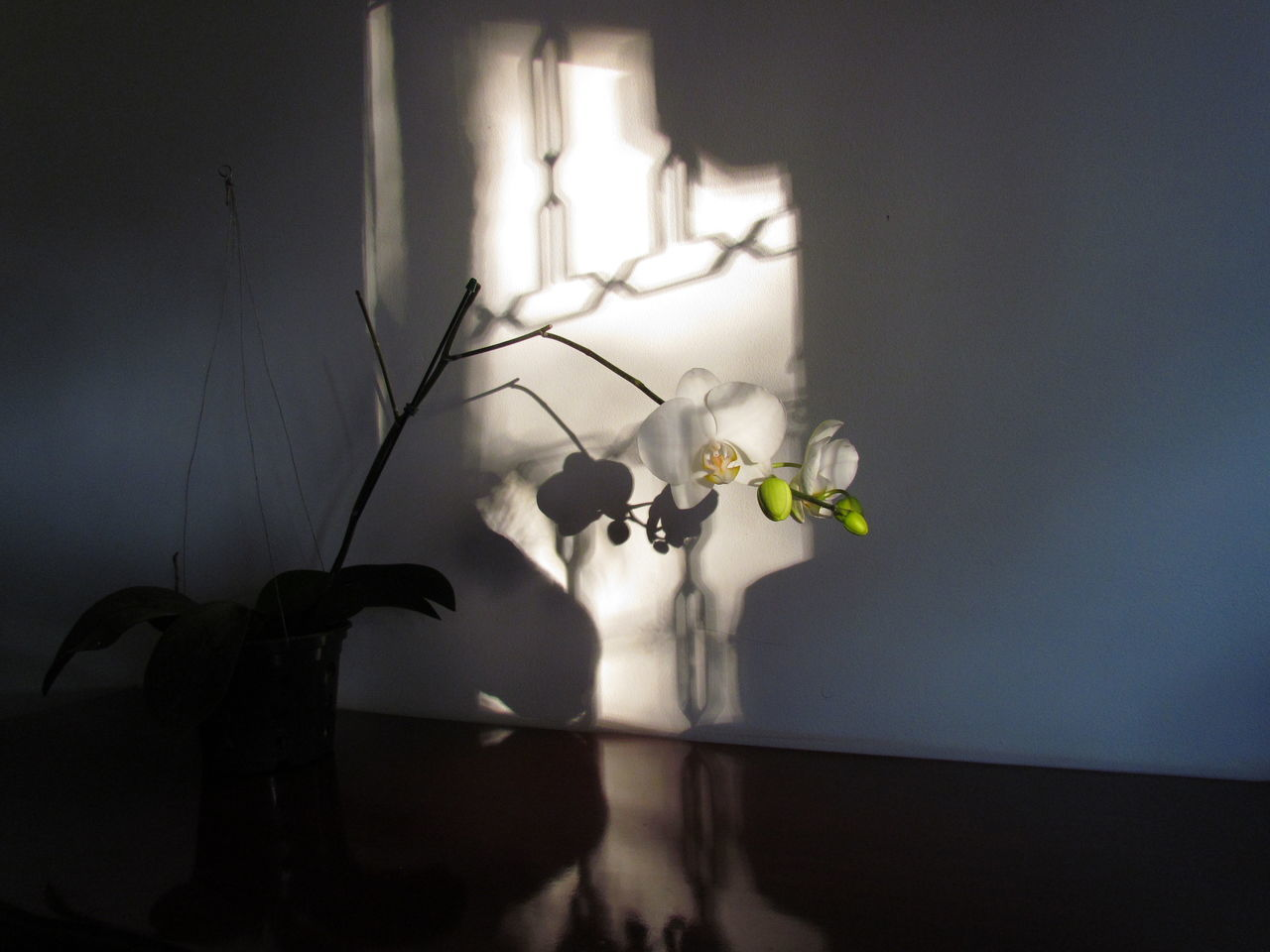 Indoors  Flower Shadow No People Table Fragility Nature Close-up Day EyeEm Indoors  Kikosene EyeEm Gallery Nature_collection Orchid Petal Brazil Phalaenopsis EyeEm Gallery Orchids Photography Flower Head Outdoors Beauty In Nature Orchids Collection Nature