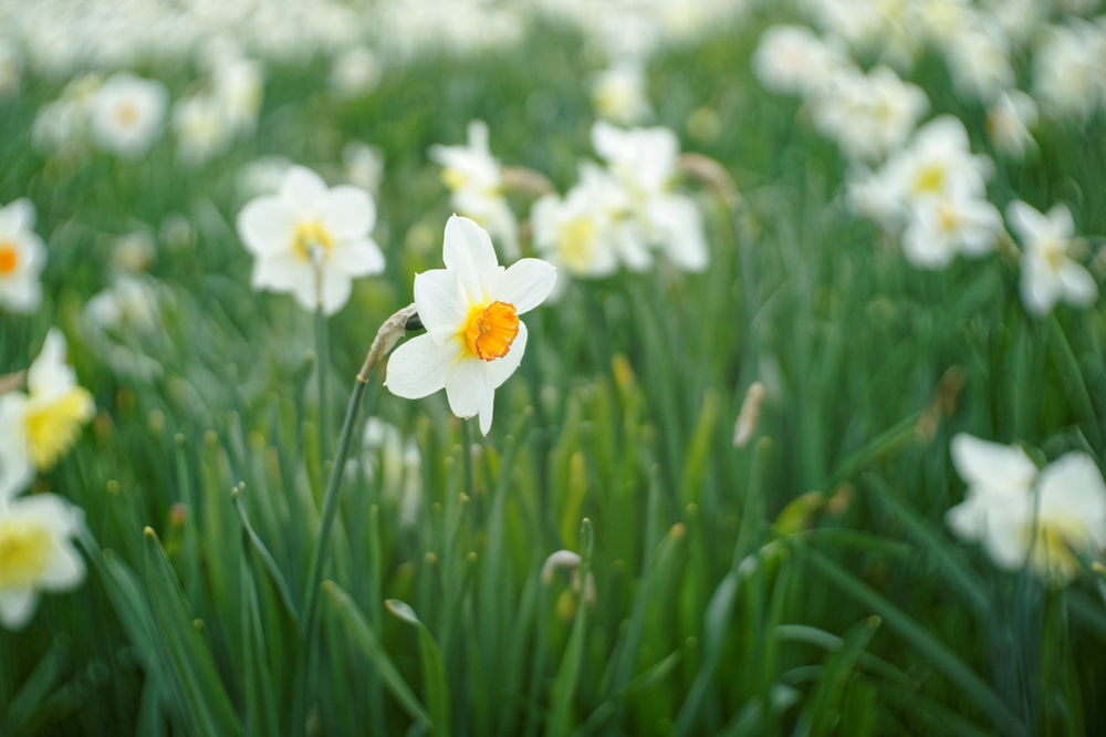 Field of White Narcissus Bloom Blooming Close-up Corona Daffadowndilly Daffodils Field Flowers Green Jonquille Narcissus Nature Plant Plant Shallow Depth Of Field Spring Stem White