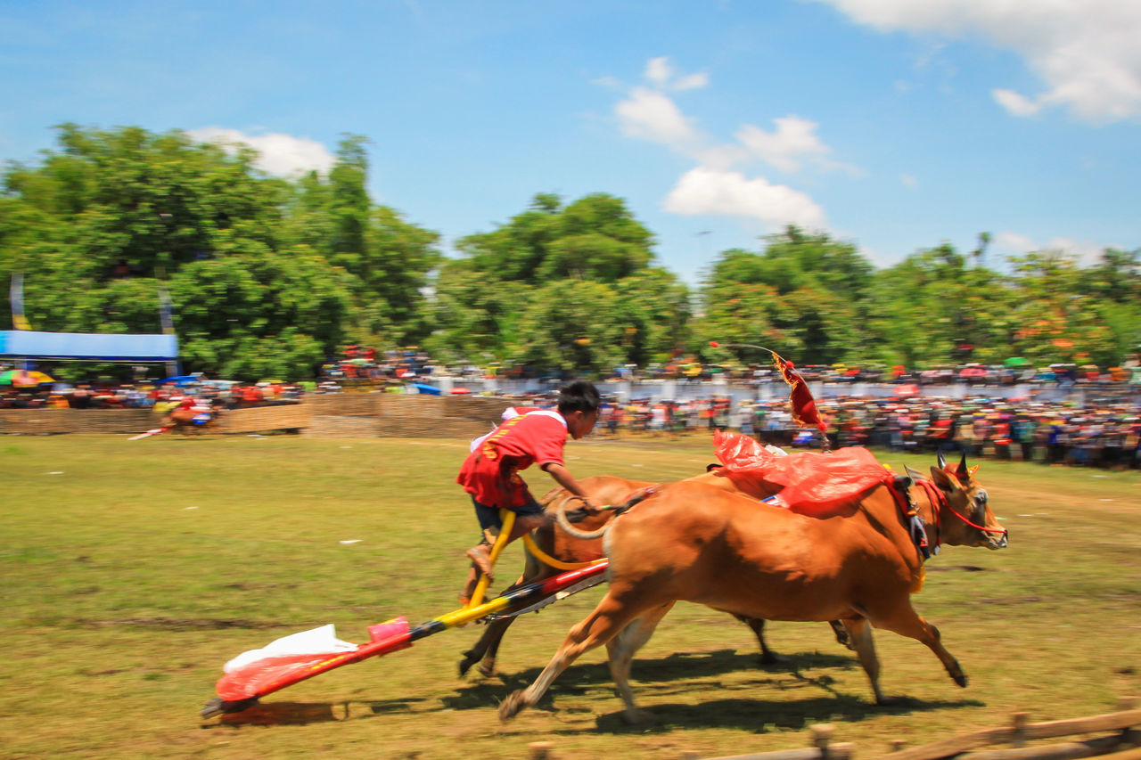 Competition Traditional Karapan Sapi Indonesia Culture Cultures Culture And Tradition Heritage Cultural Heritage Traditional Culture Madura Traditional Racing Bull Racing