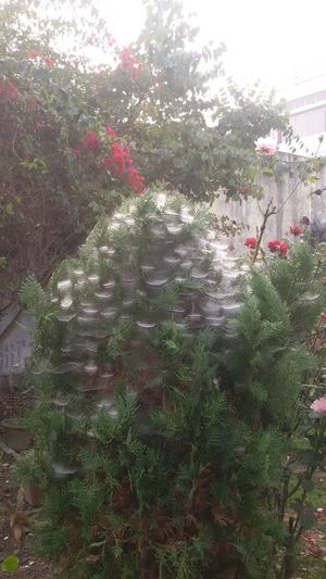 Cob Web Dew And Cob Web Freshness Tree