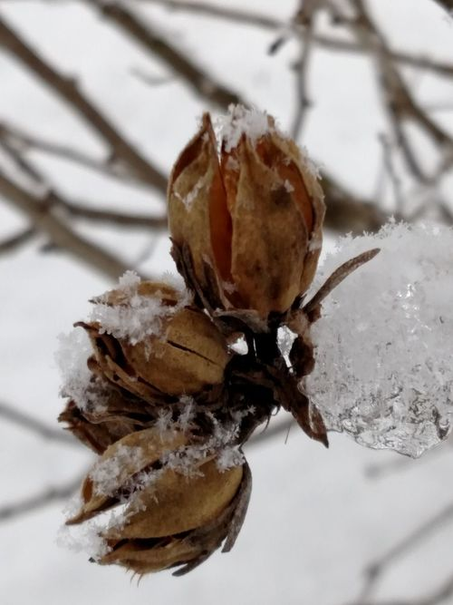 Brrrr! Ice Cold Temperature The Purist (no Edit, No Filter) Beauty Of Nature Gone To Seed Macro Photography Showcase: February From My Point Of View Bare Branches Gods Beauty From My Lens Rose Of Sharon