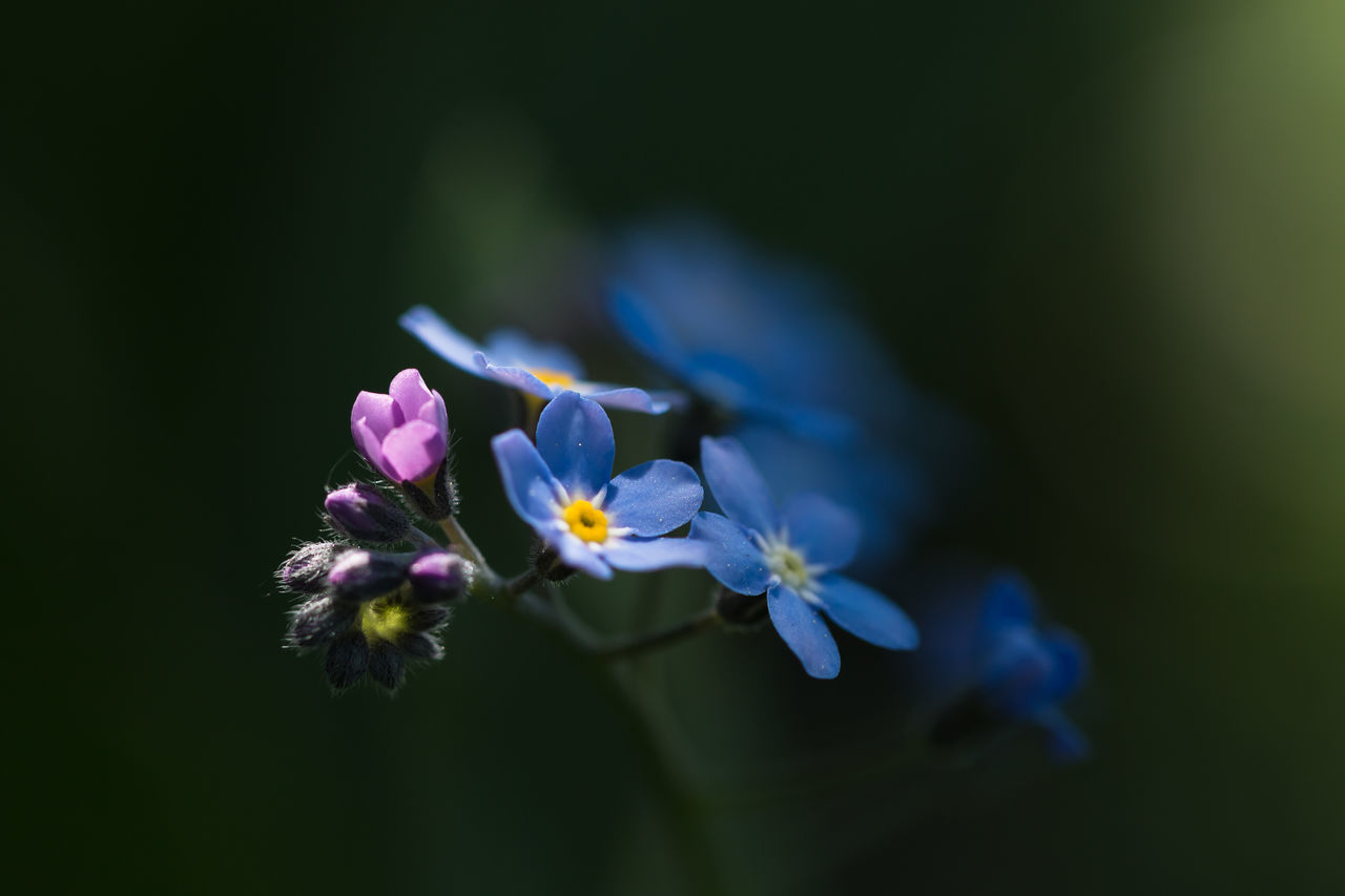 How does she do it? Beauty In Nature Blooming Close-up Day Flower Flower Head Forget Me Not Fragility Freshness Growth Myosotis Nature No People Nusshain 05 17 Outdoors Petal Pink Blue Green Plant Two Colours Vergissmeinnicht