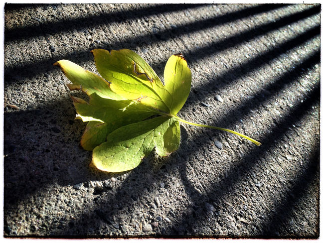 Leaf and shadows. Leaves Autumn Photography Photo Of The Day Project 365 Iphone 5