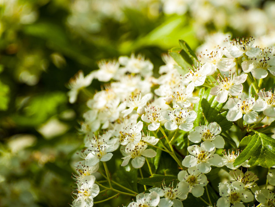 Animal Themes Beauty In Nature Blooming Blossom Branch Close-up Crataegus Crataegus Monogyna Day Environment Flower Flower Head Fragility Freshness Growth Hawthorn Hawthorn Blossom Nature No People Outdoors Petal Plant Spring Springtime White Color
