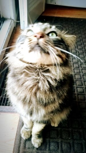 Pets Domestic Cat Animal Themes Close-up Love Beauty Portrait Greeneyes Tabbycats Mix Mainecoon Cat Cats Myeverythingandmore Cat Lovers Sunlight Happiness