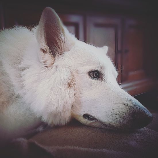 Pets Domestic Animals Dog Berger Blanc Suisse White Shepard Amor ♥ One Animal Doglover Dogs Of EyeEm Dogs Love ♥