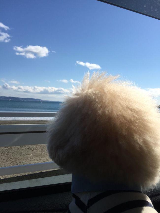 Sea Drive Pet My Toypoodle Toypoodle Poodle Love