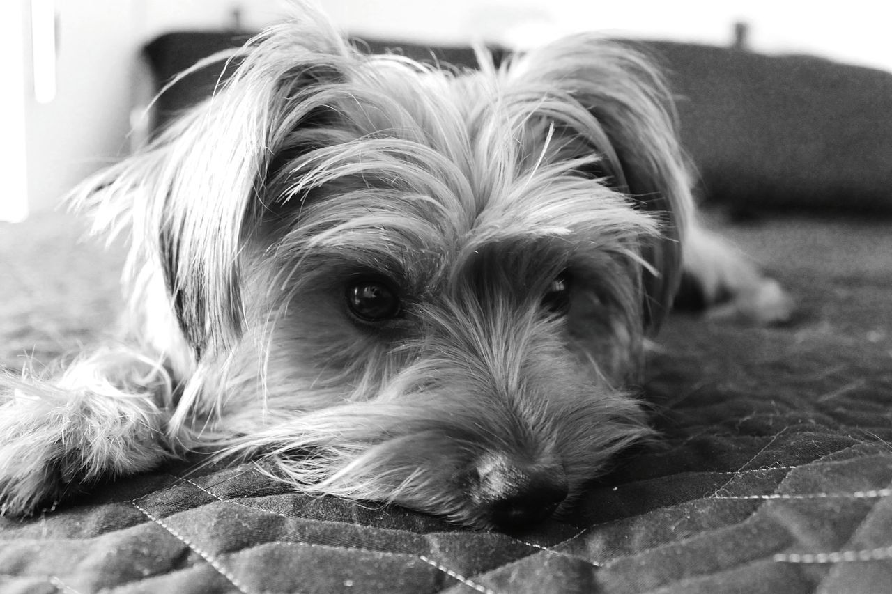 Pets Domestic Animals One Animal Close-up Dog Mammal Animal Themes Indoors  No People Day Lying Down Yorkshire Terrier Pets In The House Yorkshire Yorkshireterrier Dogs Dogs Of EyeEm Animals Laziness Lazy Dog Dog On The Bed
