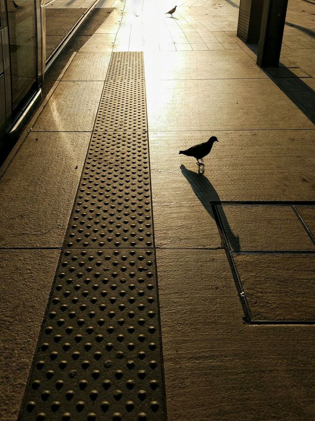 High Angle View Shadow Street Road Transportation Road Marking The Way Forward Pedestrian Surface Level Symbol Pedestrian Walkway Bird Pigeon Streetphotography City Street Street Photography Diminishing Perspective City Life Silhouette Orange Color