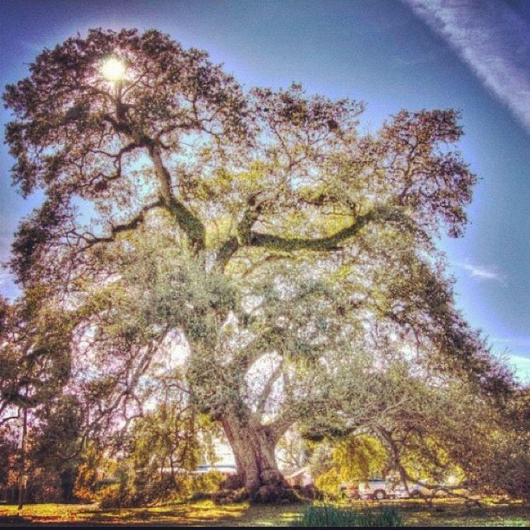 The mighty Oak. (close to the Evangeline Oak, from Longfellows poem.) #oak #tree #hdr #igerslouisiana HDR Jj_forum_0411 Photooftheday Igerslouisiana Oak GCS Igers IGDaily Jj  Instagood Igscout Instaaaaah Instagramhub Jj_forum The_guild Primeshots Gmy Tree Instamillion