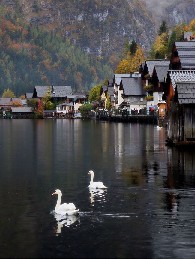 Water Lake Swan Architecture Bird Nature Reflection Waterfront Mountain Outdoors Scenics Travel Autumn Fall Colors Fall Beauty Tranquil Tranquil Scene Lakefront Lakeshore Hallstatt, Austria 💙 Austria EyeEmNewHere Hallstätter See Austria ❤ Swans