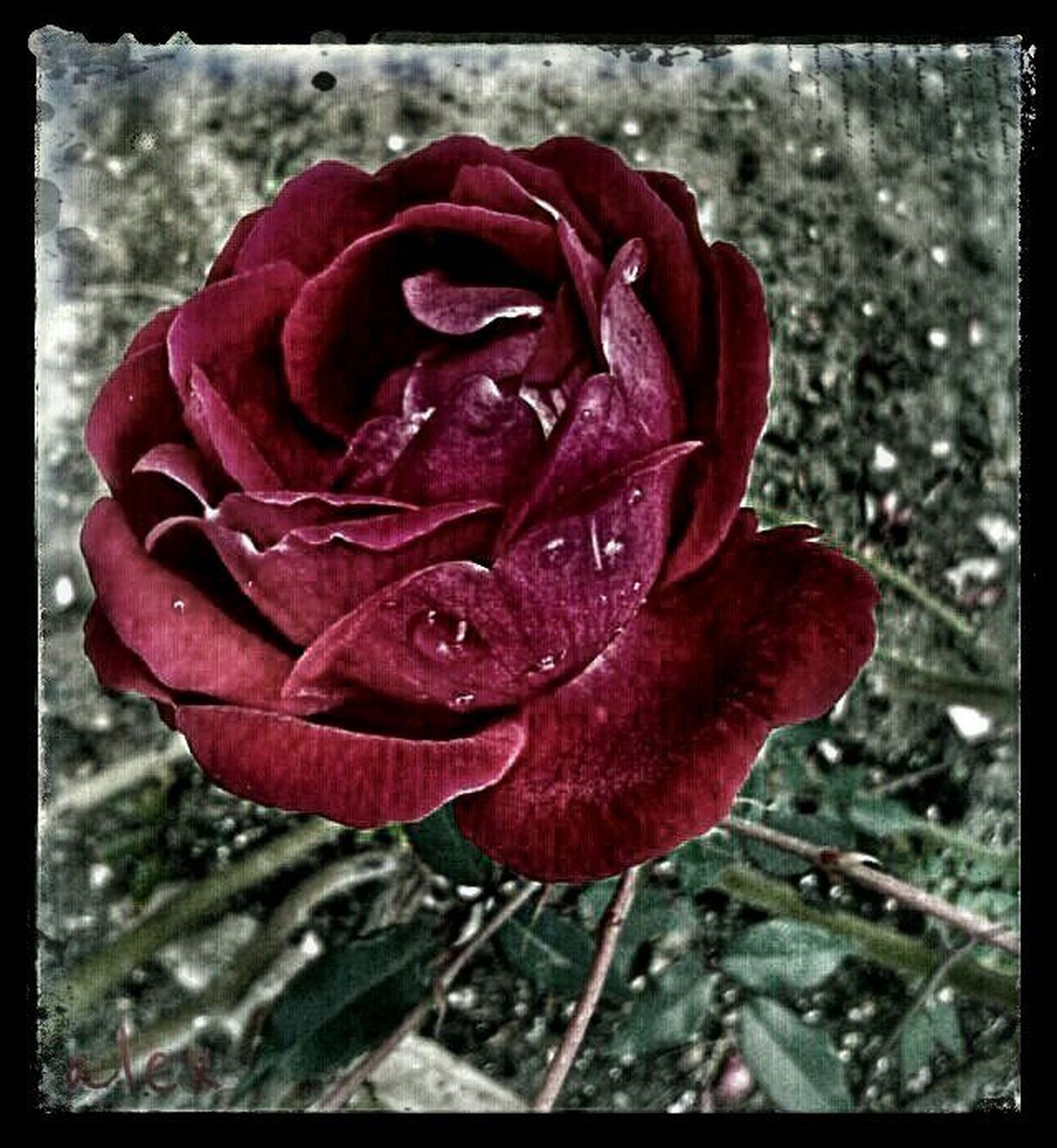 beautiful rose Red Roses Eyeemroses EyeEm Best Shots - FlowersStreamzoofamily
