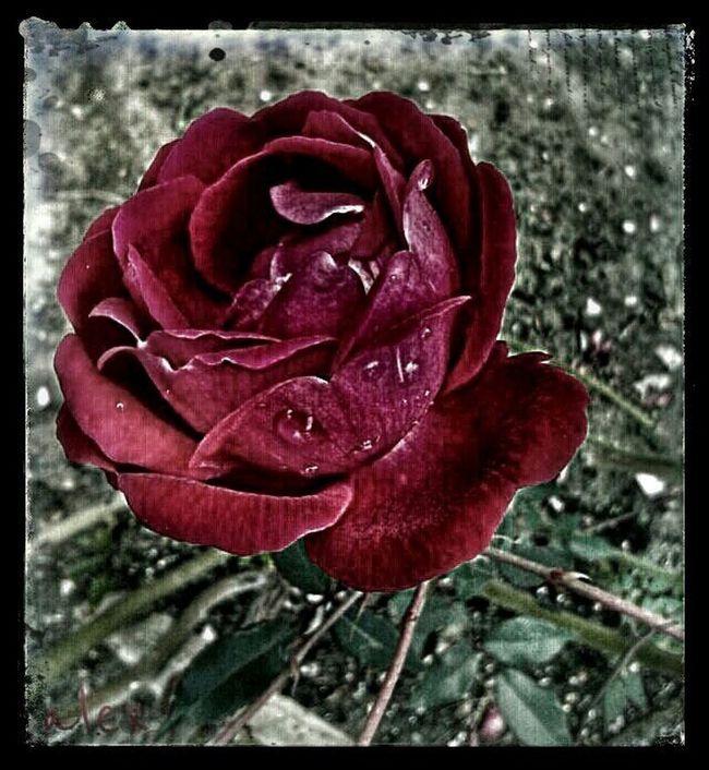 beautiful rose Red Roses Eyeemroses EyeEm Best Shots - FlowersStreamzoofamily