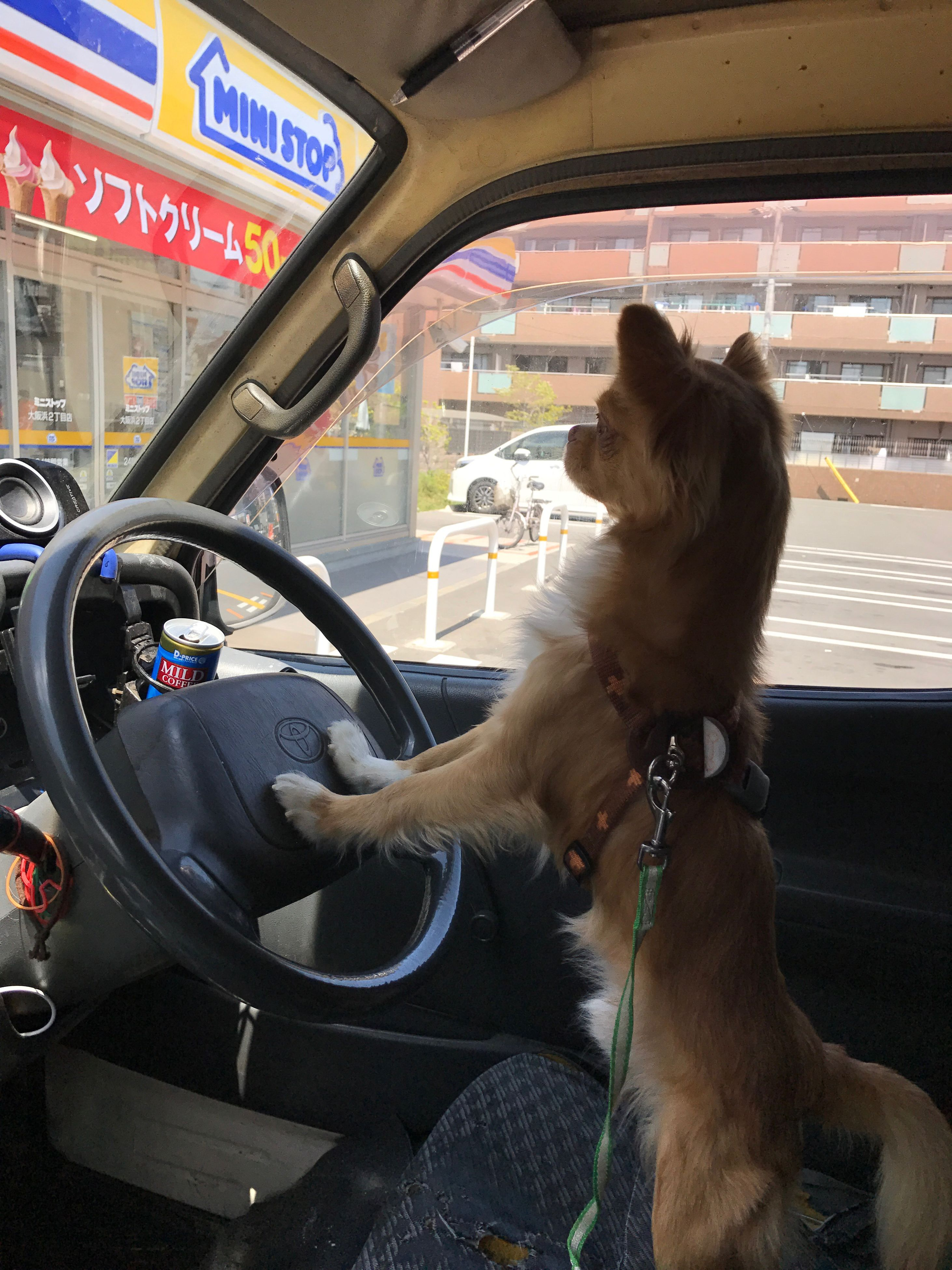 transportation, car, vehicle interior, mode of transport, car interior, land vehicle, dog, steering wheel, mammal, dashboard, vehicle seat, domestic animals, pets, day, no people, animal themes, outdoors