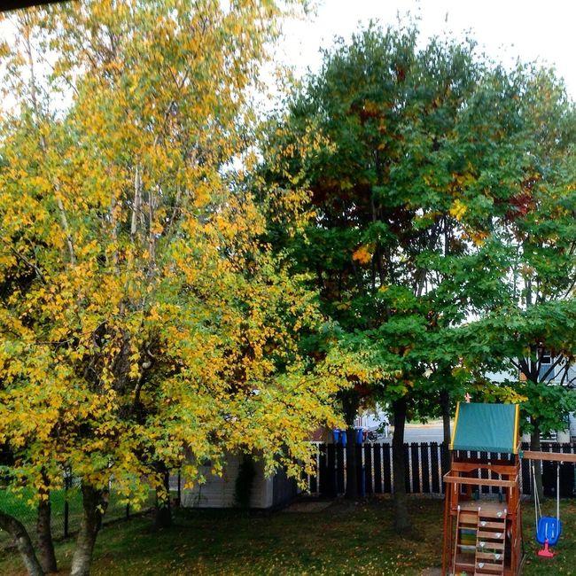 Tree Autumn Yellow Beauty In Nature Outdoors Autumn Colors Birch Oak Backyard Macour