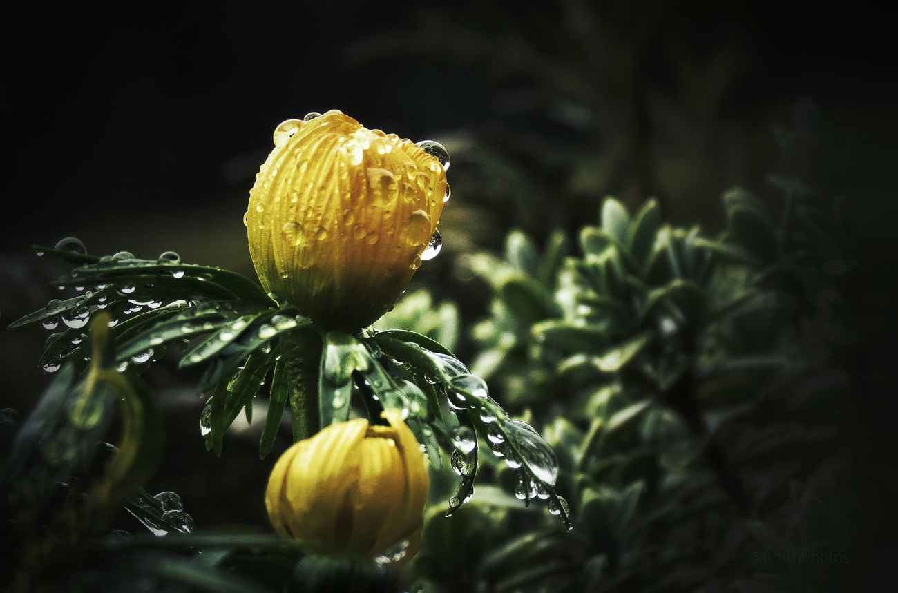 🌿🌷🌿 Yellow Flower Rain Waterdrops Garden Garden Flowers Beauty In Nature Flower Close-up Garden Photography Focus On Foreground Blooming Flower Head EyeEm Nature Lover Nature