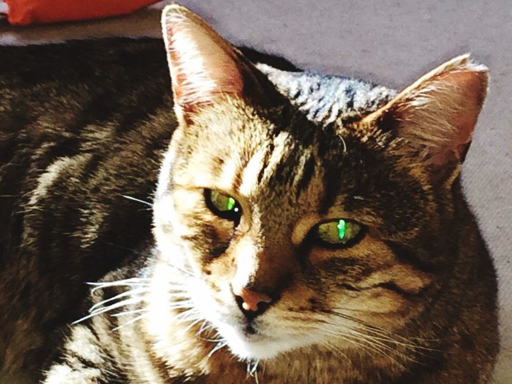 Bengal Roxy Check This Out Hanging Out Hello World Check This Out Bengalcat  Cat♡ Bengal Cat