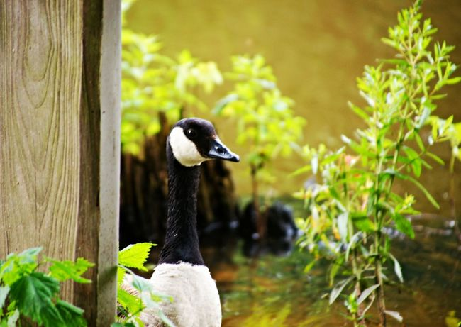 Big Brother is watching you Check This Out Hello World Taking Photos Hi! Nature On The Door Step Naturelovers Ducks Life Is Beautiful Walking Around Snapshot