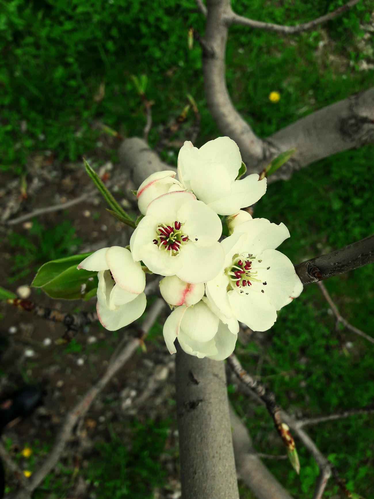 Armenia Flower White Color Nature Blossom Close-up Springtime Outdoors Beauty In Nature No People Day Flower Head Plant Tree Growth Branch Fragility Freshness Apricot Tree