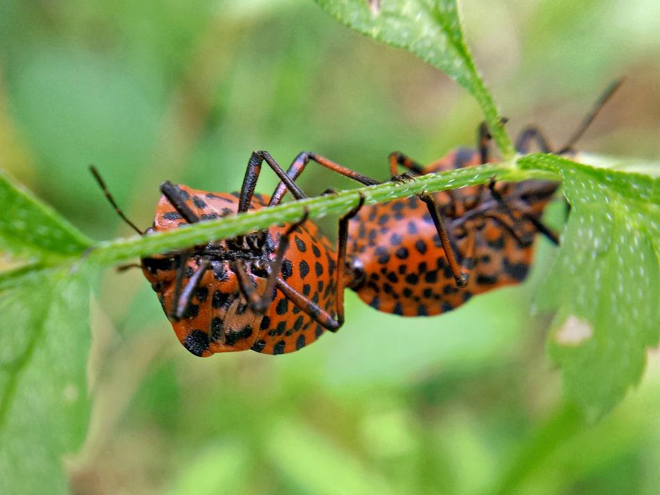 Graphosoma Italicum copulation - Serchio River Arthropoda Beauty In Nature Close-up Copulating Copulation Graphosoma Lineatum Hexapoda Insect Insecta Nature Outdoors Pentatomidae