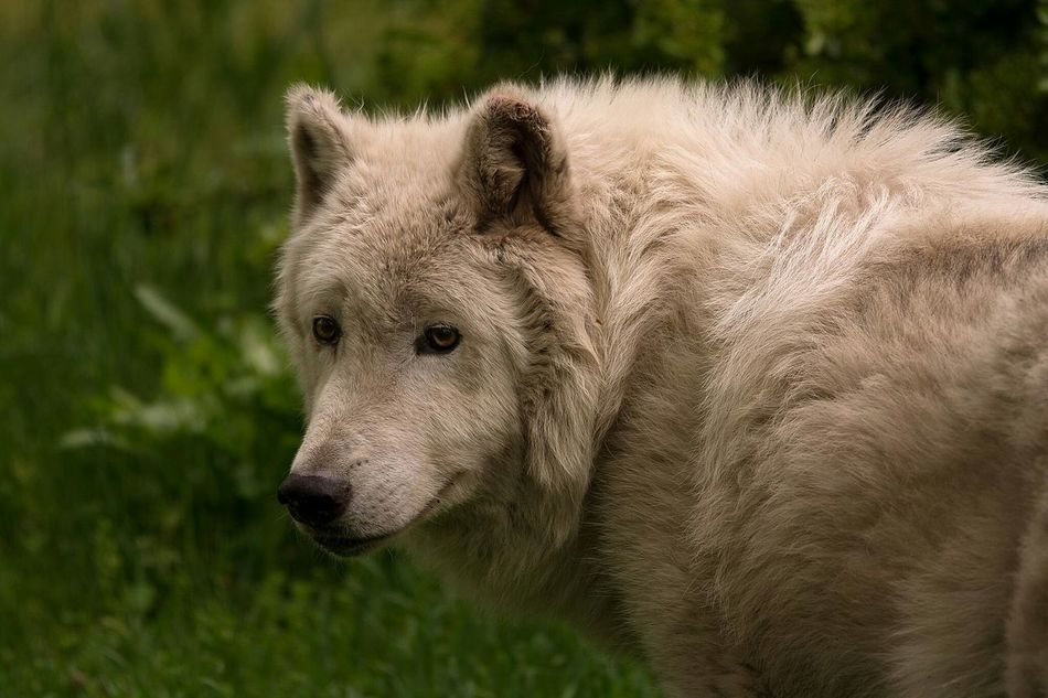 Beautiful stock photos of wolf, Animal Themes, Animals In The Wild, Close-up, Day