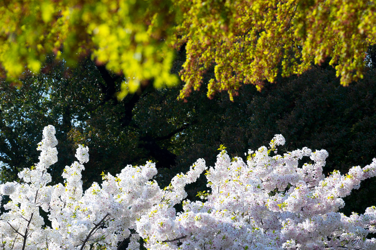 Looking up in the sky Beauty In Nature Blooming Blossom Branch Cheeryblossom Cherry Blossoms Chidorigafuchi Close-up Day Flower Flowers Fragility Freshness Growth Japan Japan Photography Japanese  Lichen Nature No People Outdoors Sakura Spring Tree White Color