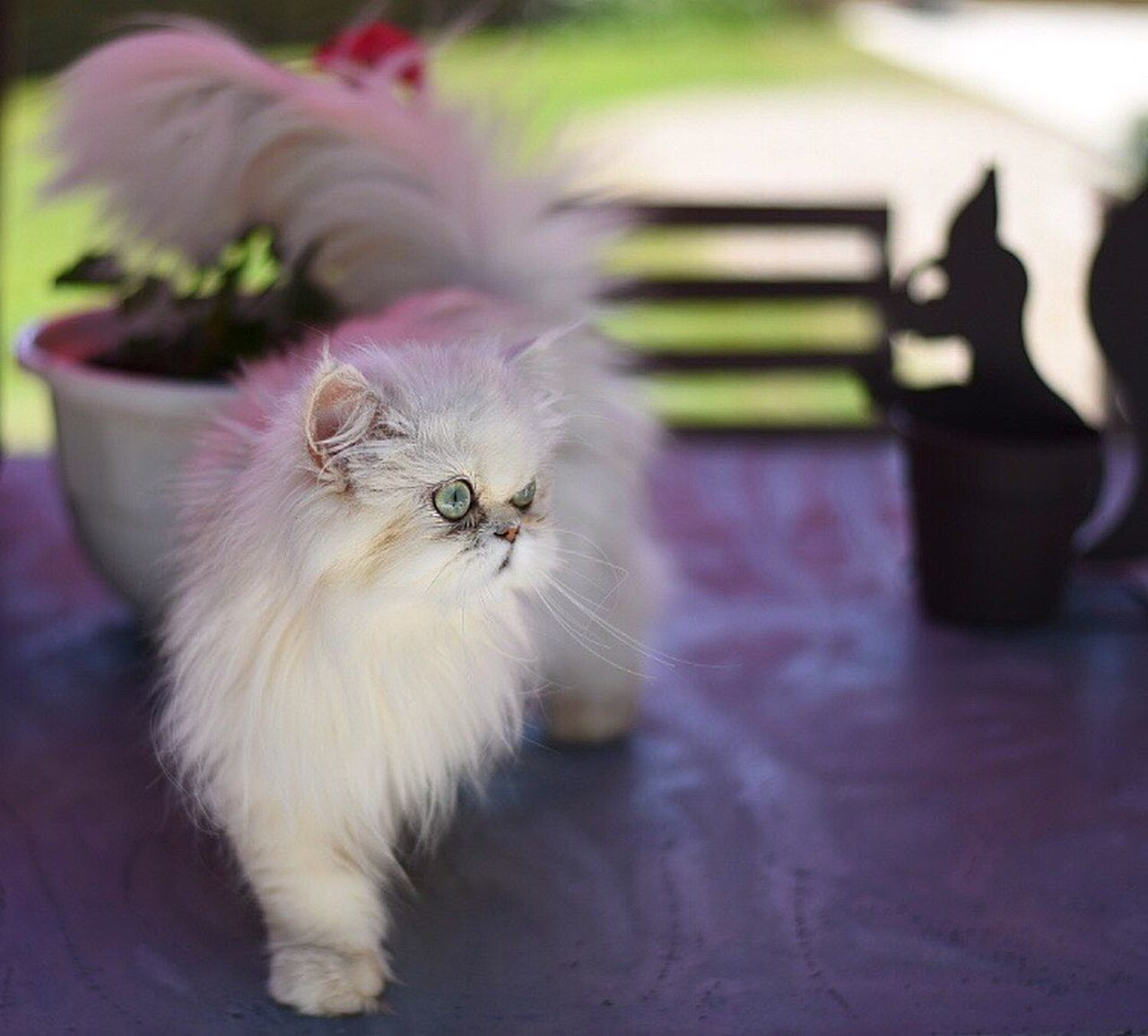 Maya Domestic Cat Pets Feline Domestic Animals Persian Cat  Kitten One Animal