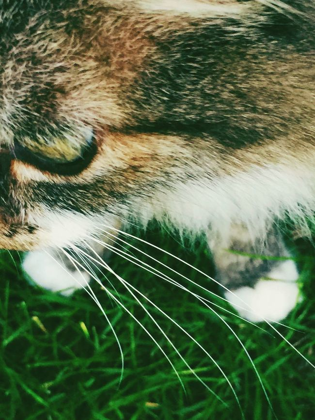Maximum Closeness Domestic Cat Domestic Animals One Animal Pets Animal Themes Mammal Feline Close-up Whisker No People Grass Aerial View Cat Outdoors Cats Of EyeEm Fur Lookaway Carnivora VSCO Animal Hair Animal Head  Paws Feet Day